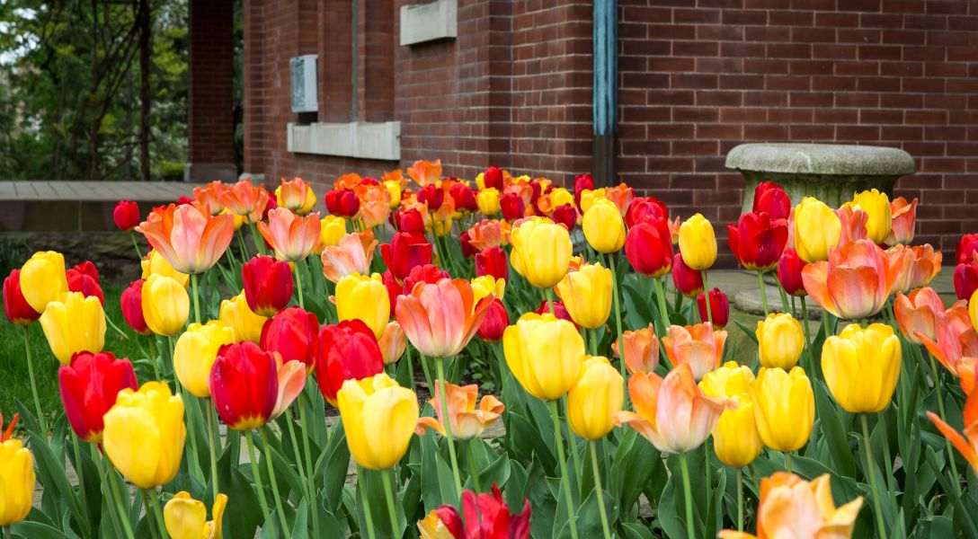 Tulips at the AD White House